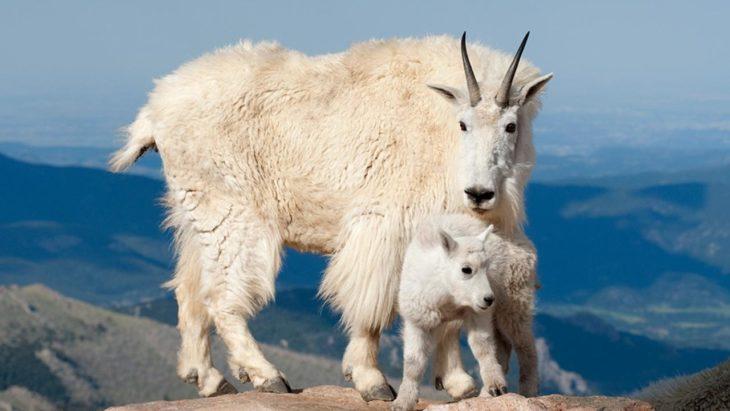 cabra montesa a lado de su cría