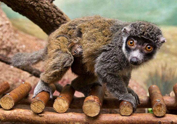 mangosta protegiendo a su cría