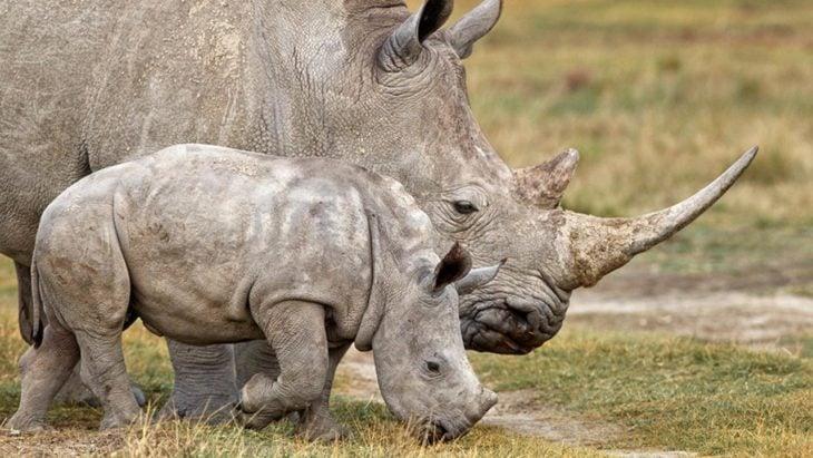 foto de una rinoceronte a lado de su pequeña cría