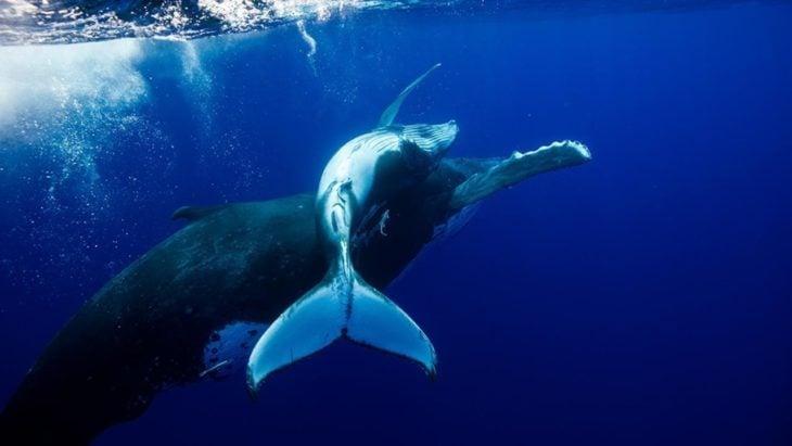 imagen de una ballena jorobada nadando con su cría