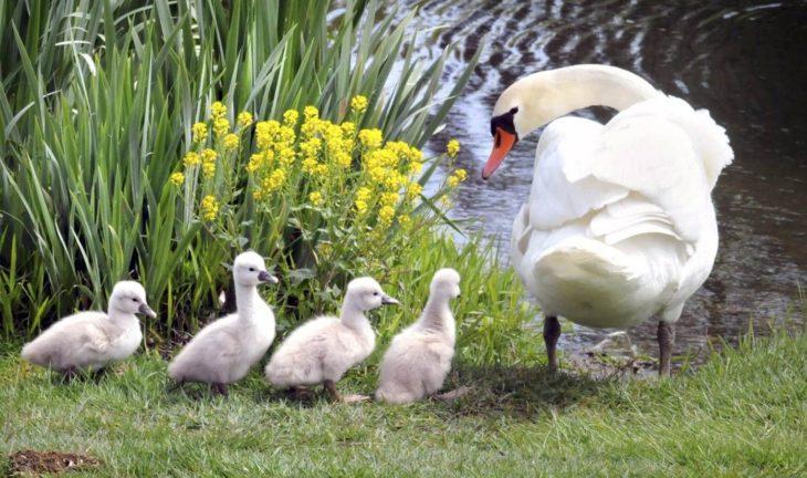 Cisne cuidando a sus crías a la orilla de un río