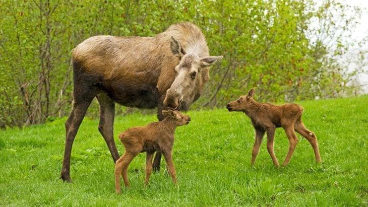 25 datos asombrosos de las increíbles madres del reino animal (16)