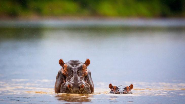 hipopótamo nadando a lado de su bebé