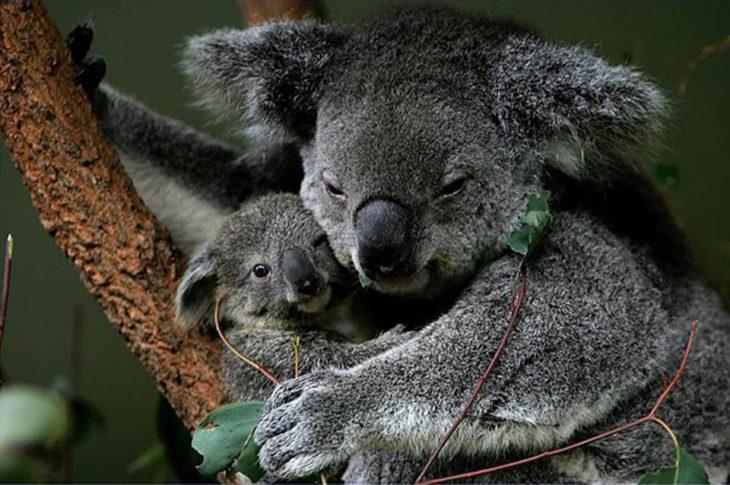 koala abrazando a su cría