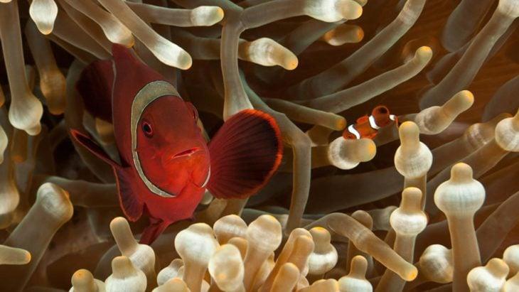 pez payaso nadando junto a su cría