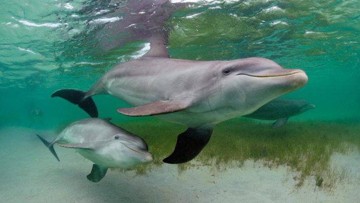mamá delfín nadando junto a su cría