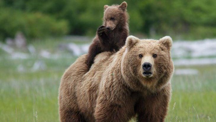 oso pardo cargando a su cría sobre su espalda