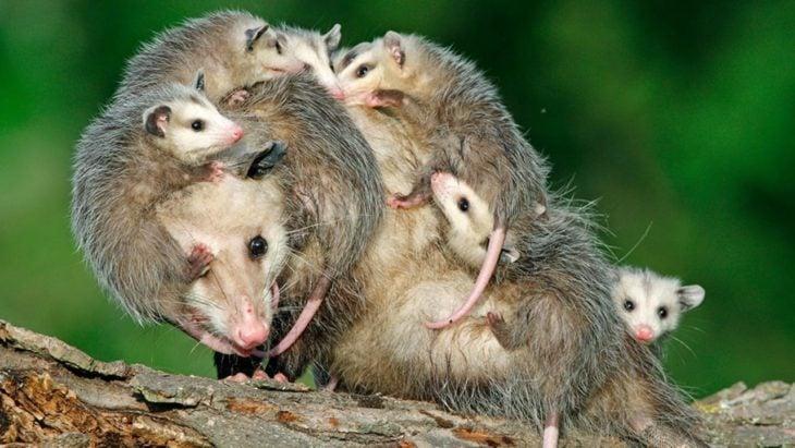 zarigüeyas rodeada de sus crías