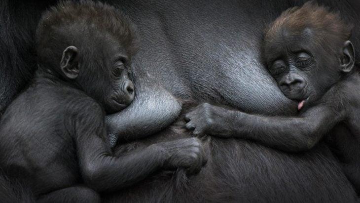 gorila amamantando a sus crías