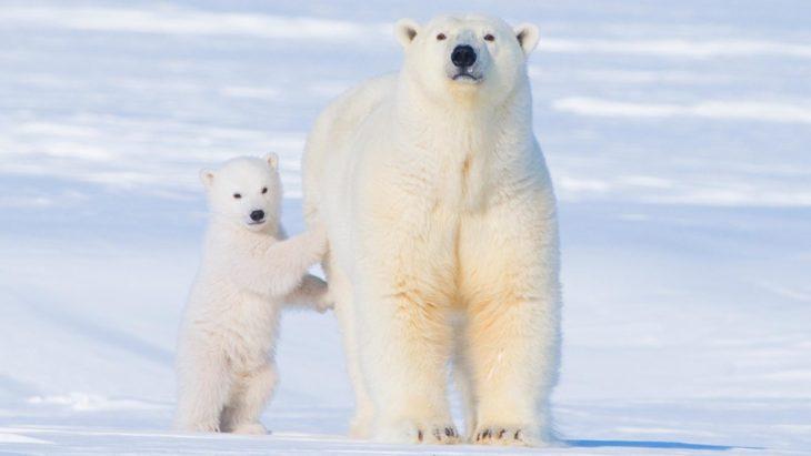 Hembra oso polar a lado de su cría