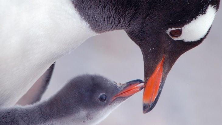 Pingüino papúa sobre su cría