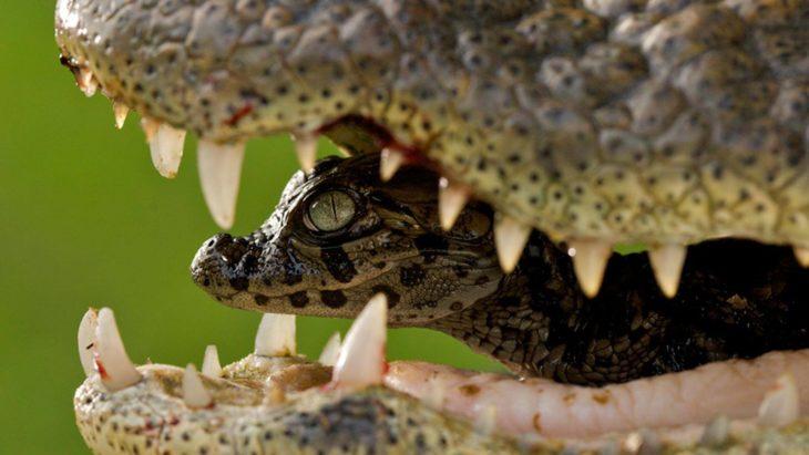 hembra caimán cuidando de su cría dentro de su boca