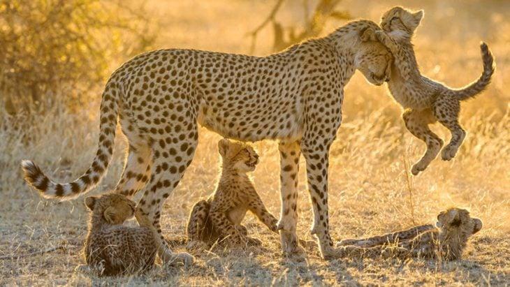 fotografía de una hembra guepardo rodeada de sus crías