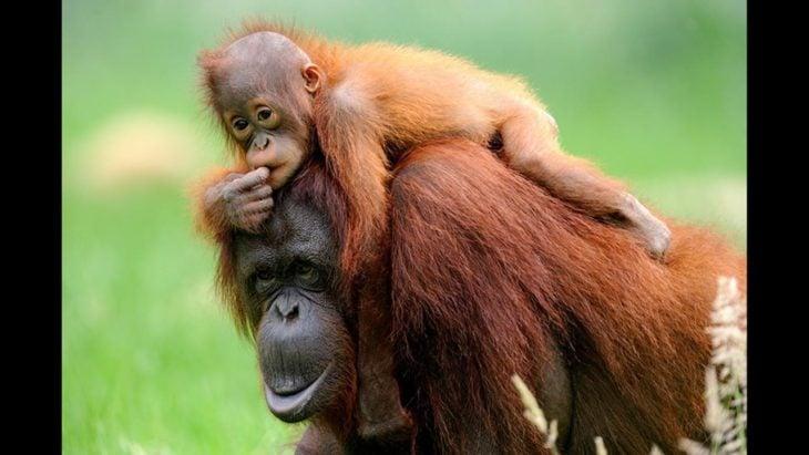fotografía de un orangután con su cría en la espalda