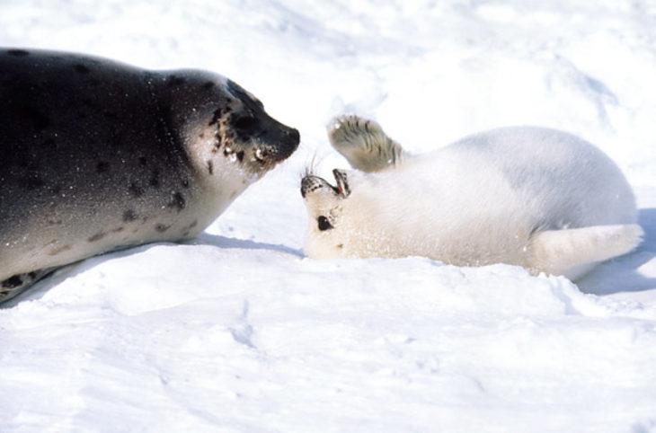 hembra foca cuidando a su cría
