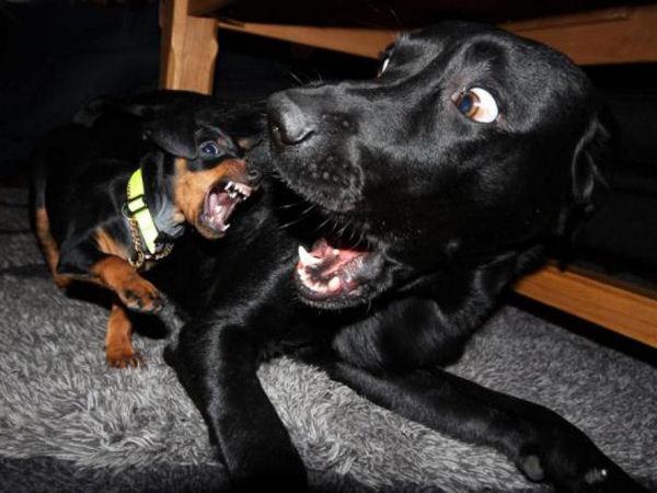 Perro cachorrito atacando a perro grande labrador, el labrador se ve asustado