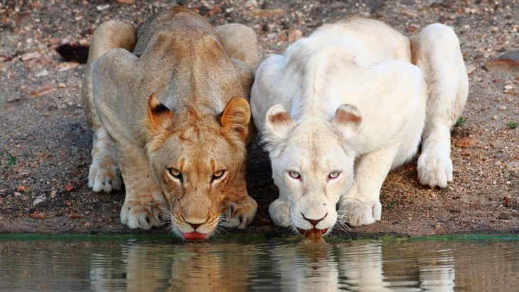 leonas albinas