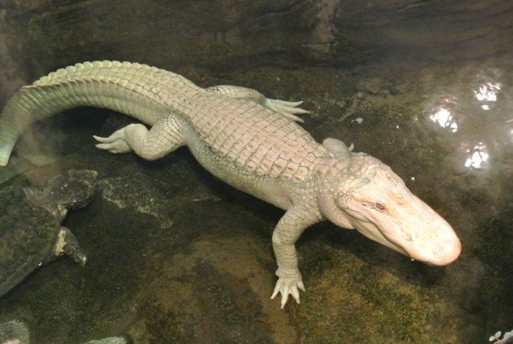 cocodrilo blanco