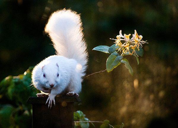 ardilla albina