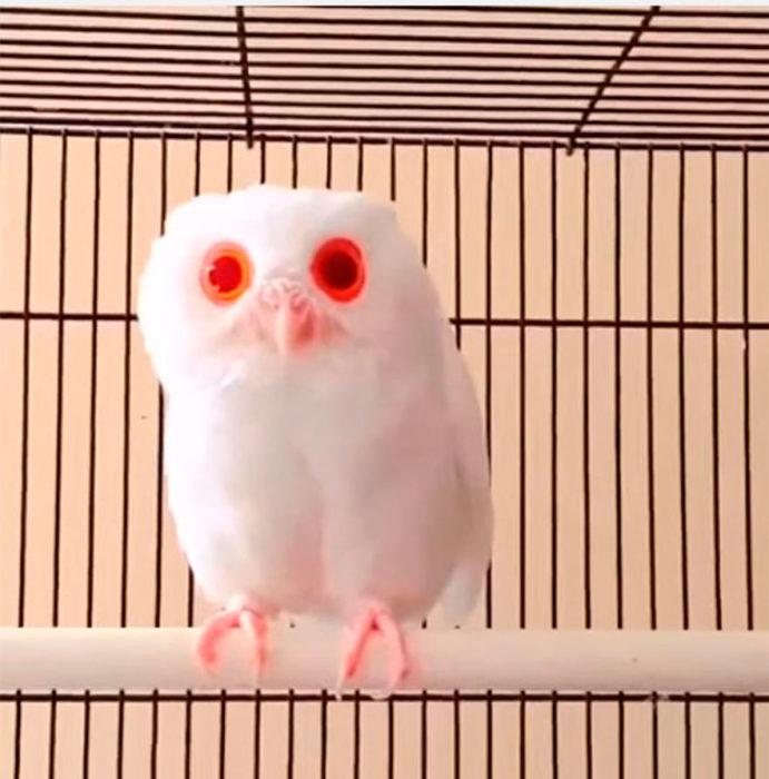 bouho que parecen ojos rojos