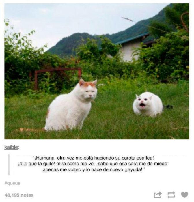 gato chipil