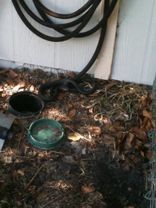 mamba negra camuflada en la manguera enredada