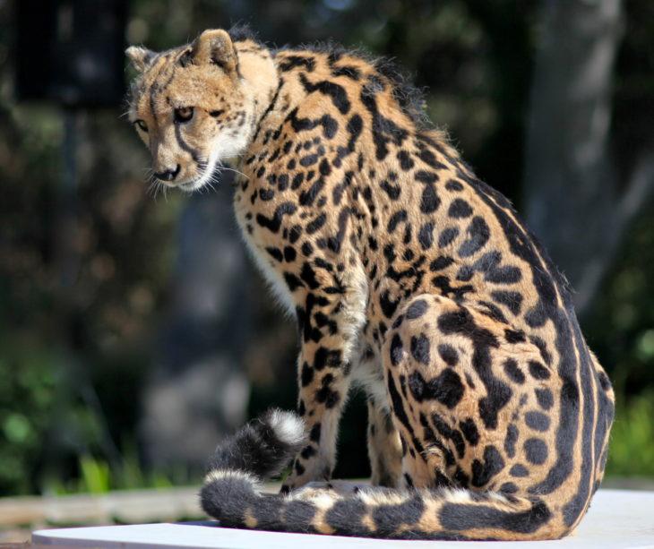 imagen de un guepardo del rey con marcas en su espina dorsal