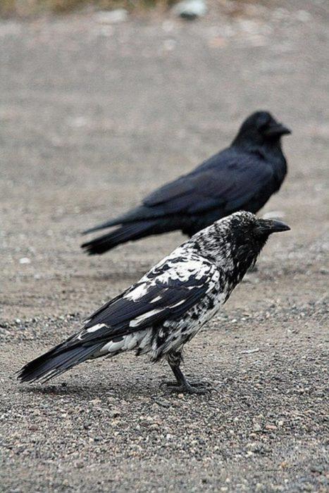 cuervo con marcas blancas junto a un cuervo negro
