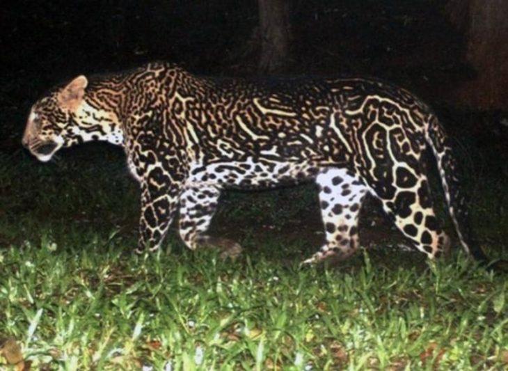 foto de un leopardo con un pelaje y marcas pronunciadas