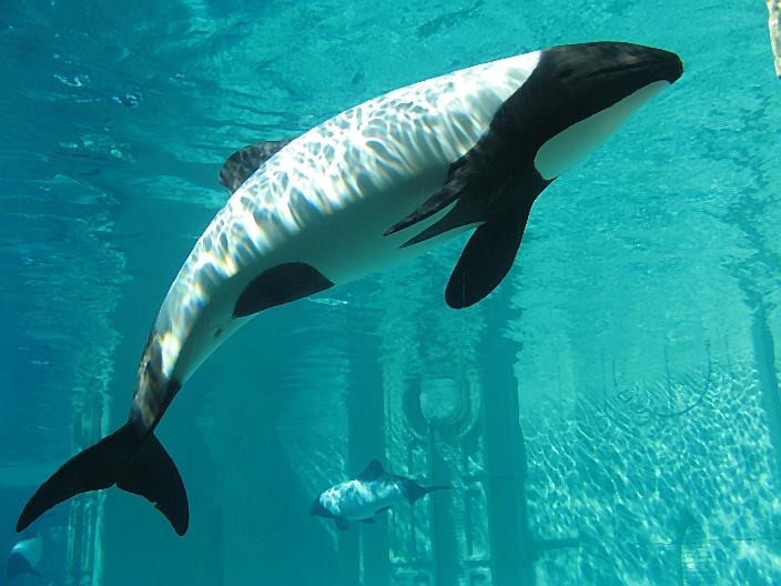 foto de un delfín blanco con marcas negras mejor conocido como delfín panda
