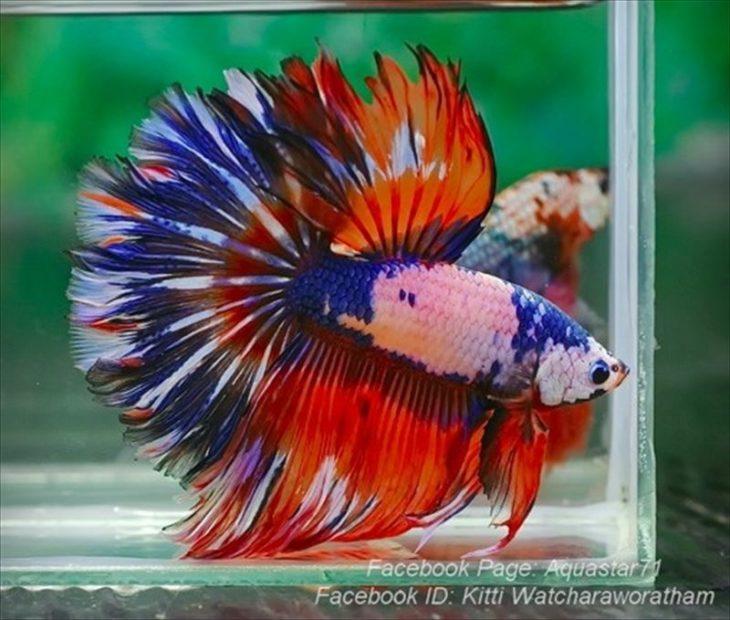 imagen de un pez beta de diversos colores