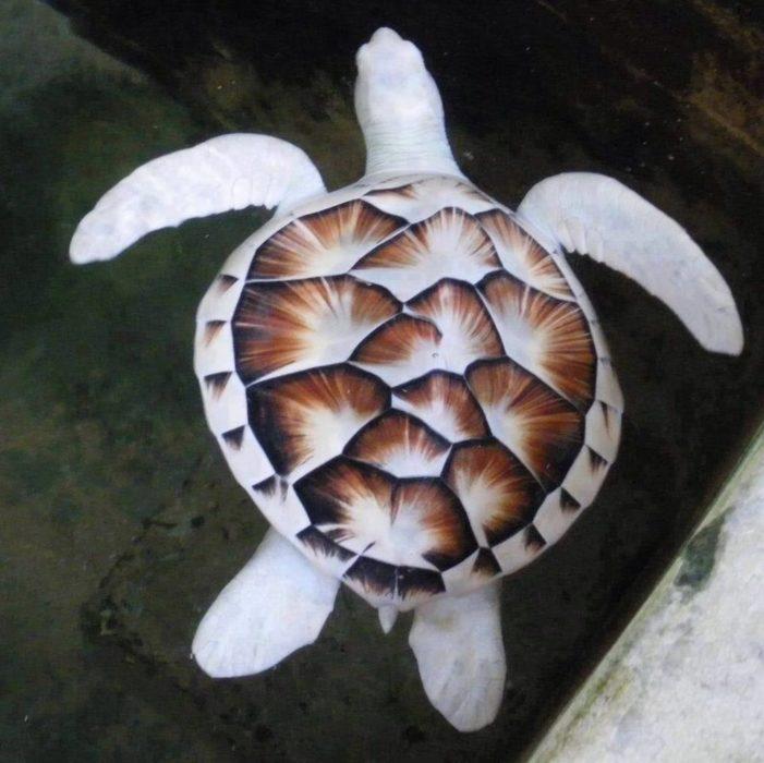 imagen de una tortuga albina con marcas cafés en su caparazón
