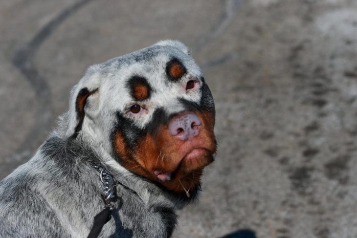 perro rottweiler blanco con manchas cafés