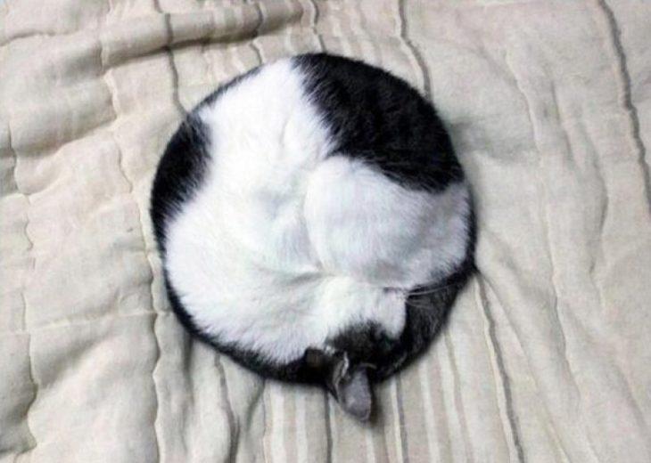 gato perfectamente enroscado