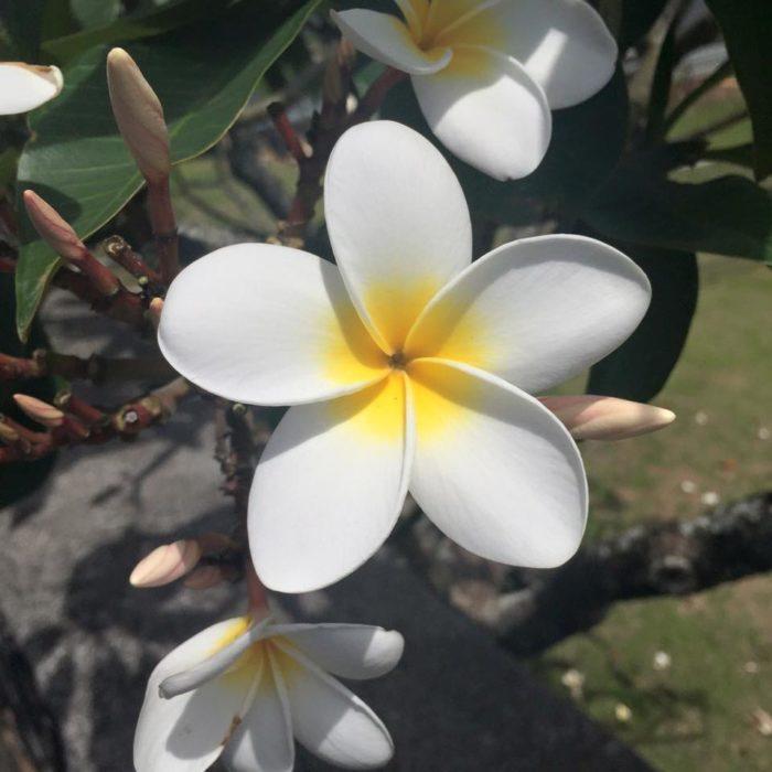 flor blanca con un círculo amarillo dentro