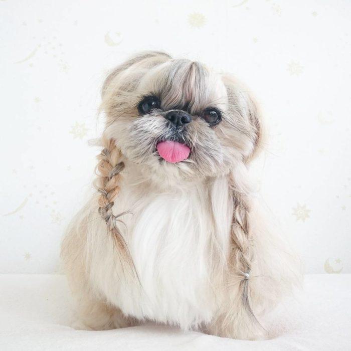 Kuma, la perrita con estilo en sus peinados