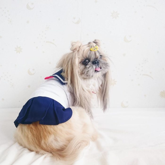 perrita vestida de sailormon