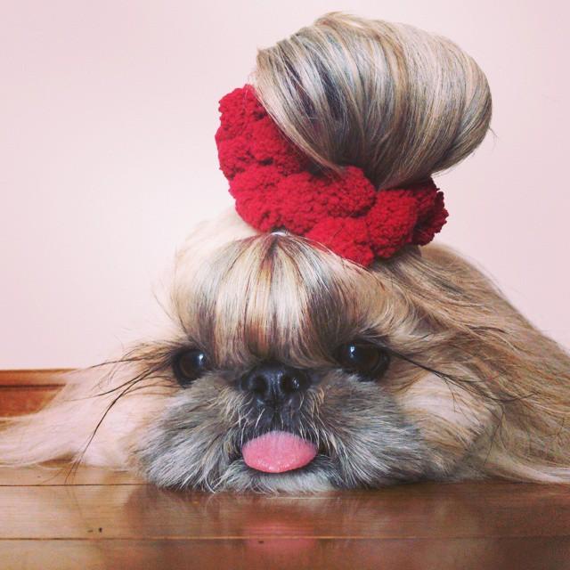 Kuma perrita peinada con un chongo en su cabeza