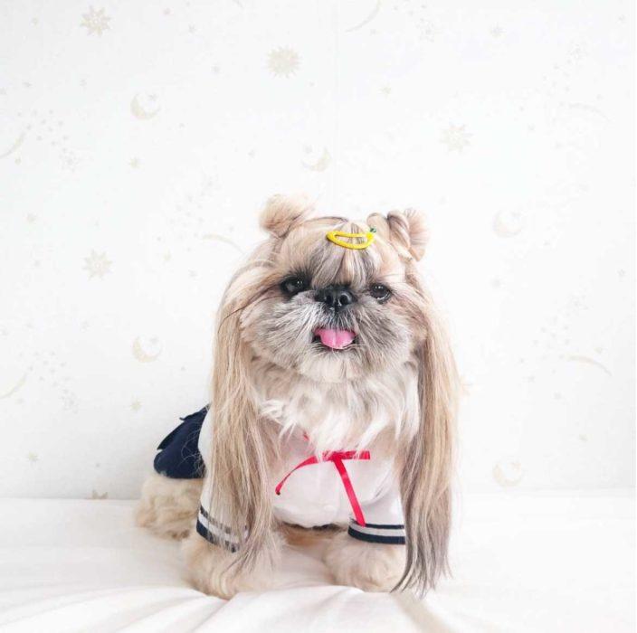 Perrita con unos chongos y vestida de Sailormon