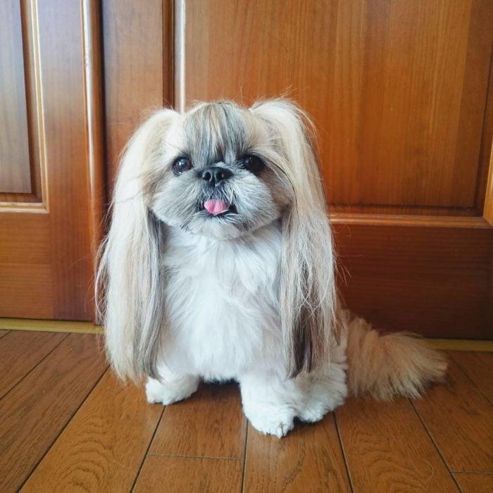 Kuma, la perrita más famosa en Instagram por sus peinados