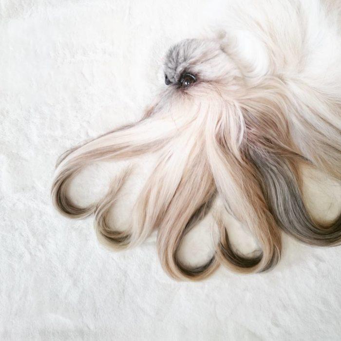 perrita con el cabello largo