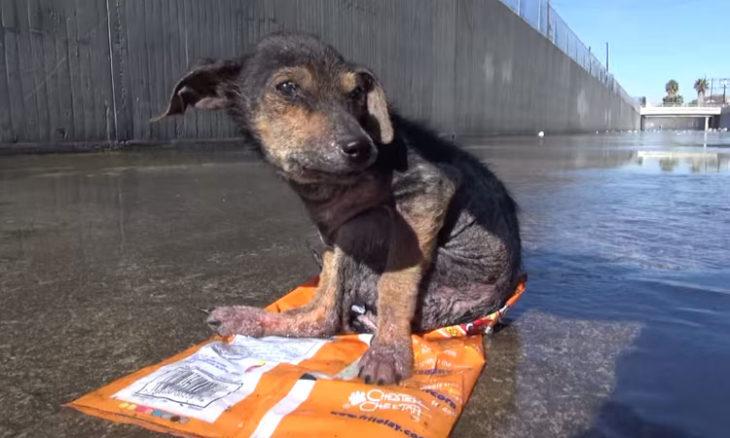 Jordan el perrito sin una pata que fue lanzado a un canal en Los Ángeles