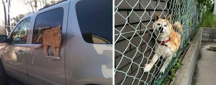 Gato parado en la manija de la puerta de un auto; perro atorado entre la pared y una reja