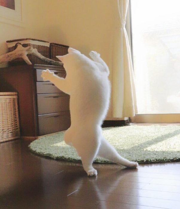 gato bailando ballet