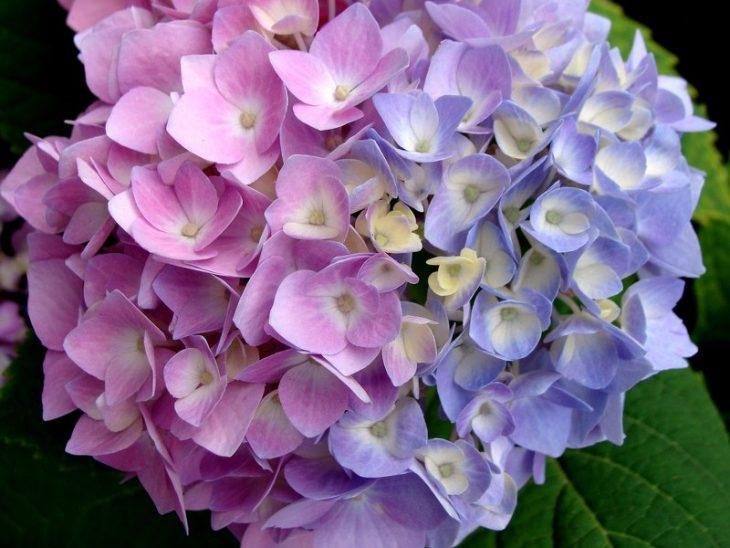 Hortensias de color rosa y morados