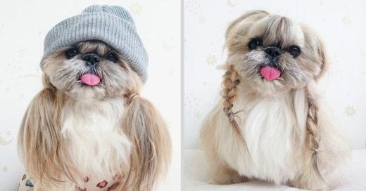 Kuma, La perrita Shih Tzu con el look más increíble