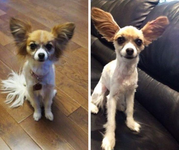 Hombre le hace un corte de cabello al perro y lo deja trasquilado