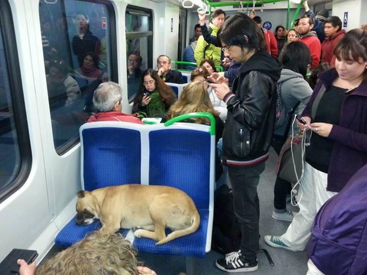 Metro lleno mientras perro duerme en dos asientos