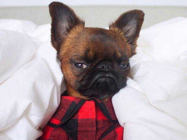 perro con camisa de cuadros rojos