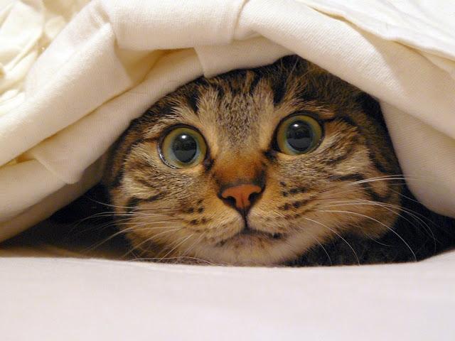 Gato debajo de las cobijas con cara de susto